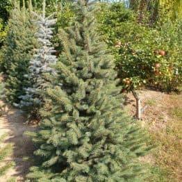 Ель колючая Глаука (Picea pungens Glauca) ФОТО Питомник растений Природа (58)