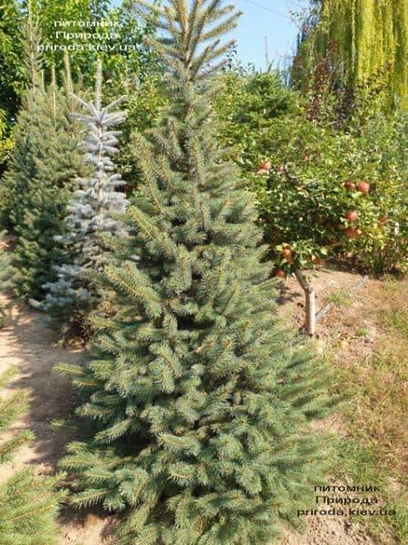Ялина колюча Глаука (Picea pungens Glauca) ФОТО Розплідник рослин Природа (58)