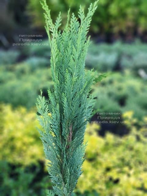 Кипарисовик Лавсона Витцелиана(Chamaecyparis lawsoniana Witzeliana) ФОТО Питомник растений Природа (1)