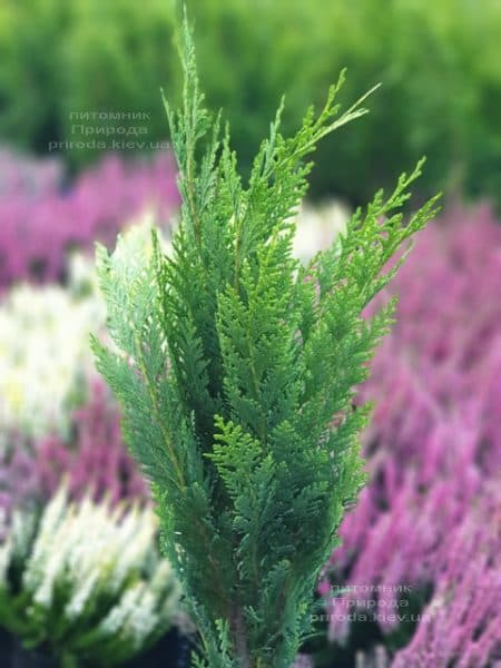 Кипарисовик Лавсона Витцелиана(Chamaecyparis lawsoniana Witzeliana) ФОТО Питомник растений Природа (2)