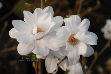 Магнолия Лебнера Мэгз Пируэт (Magnolia loebneri Mag's Pirouette) ФОТО Питомник растений Природа (1)