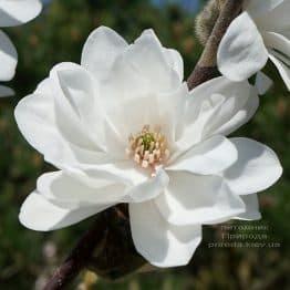 Магнолія Лебнера Мегз Пірует (Magnolia loebneri Mag's Pirouette) ФОТО Розплідник рослин Природа