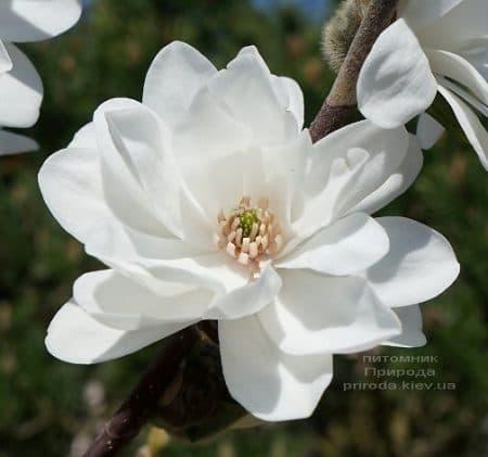 Магнолия Лебнера Мэгз Пируэт (Magnolia loebneri Mag's Pirouette) ФОТО Питомник растений Природа