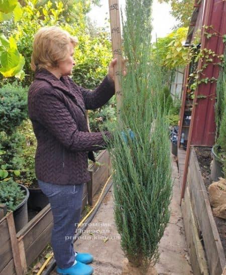 Можжевельник скальный Блю Арроу (Блю Эрроу) (Juniperus scopolorum Blue Arrow) ФОТО Питомник растений Природа (38)