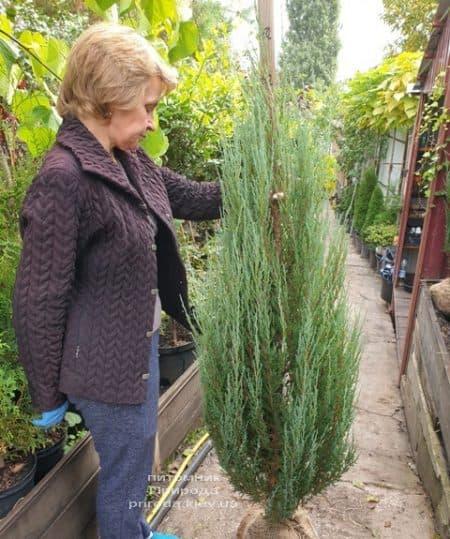 Можжевельник скальный Блю Арроу (Блю Эрроу) (Juniperus scopolorum Blue Arrow) ФОТО Питомник растений Природа (39)
