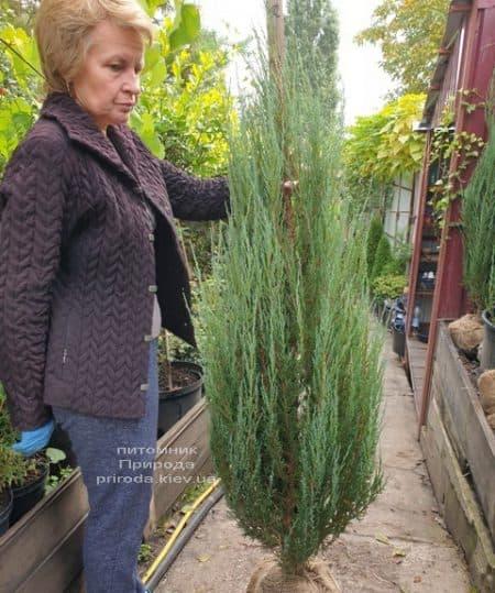 Можжевельник скальный Блю Арроу (Блю Эрроу) (Juniperus scopolorum Blue Arrow) ФОТО Питомник растений Природа (40)
