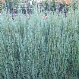 Ялівець скельний Блю Арроу (Блю Ерроу) (Juniperus scopolorum Blue Arrow) ФОТО Розплідник рослин Природа (41)