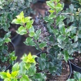 Падуб гостролистий (Ilex aquifolium) ФОТО Розплідник рослин Природа (2)