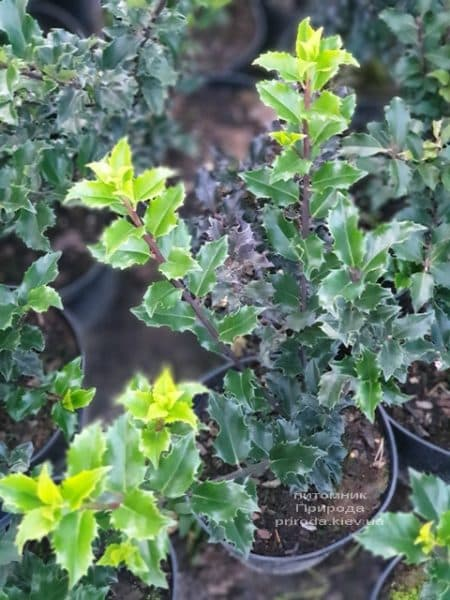 Падуб остролистный (Ilex aquifolium) ФОТО Питомник растений Природа (2)