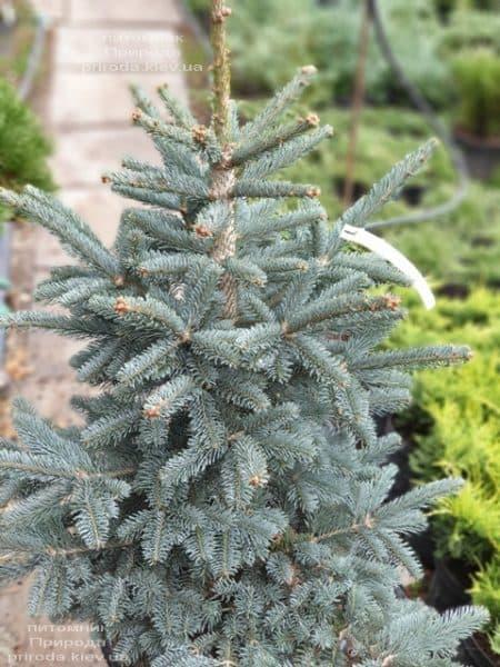 Ялиця гірська Аргентеа (Abies lasiocarpa Argentea) ФОТО Розплідник рослин Природа (1)