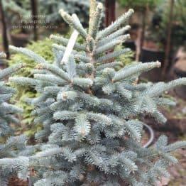 Пихта горная Аргентеа (Abies lasiocarpa Argentea) ФОТО Питомник растений Природа (2)