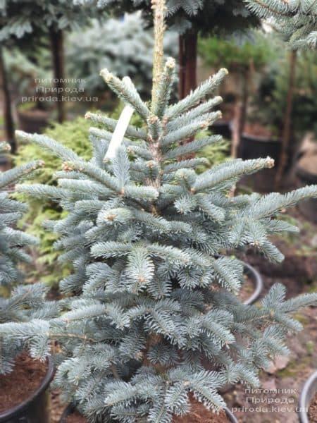Ялиця гірська Аргентеа (Abies lasiocarpa Argentea) ФОТО Розплідник рослин Природа (2)
