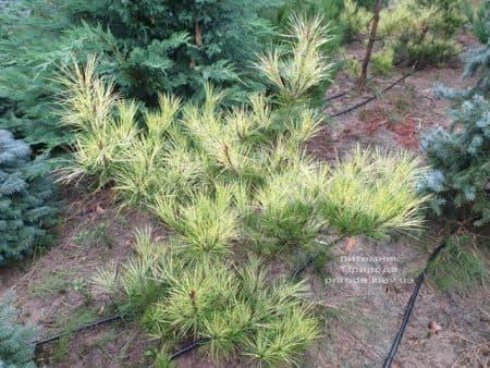 Сосна Окулус Драконис (Pinus densiflora Oculus Draconis) ФОТО Питомник растений Природа (4)