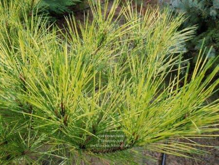 Сосна Окулус Драконис (Pinus densiflora Oculus Draconis) ФОТО Питомник растений Природа (5)