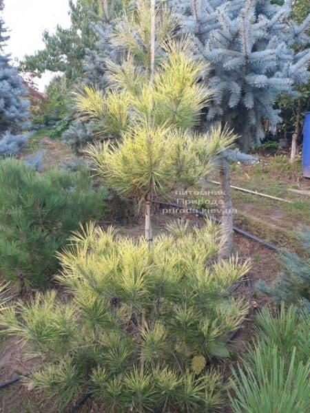 Сосна Окулус Драконис (Pinus densiflora Oculus Draconis) ФОТО Питомник растений Природа (7)