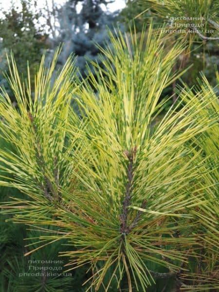 Сосна Окулус Драконис (Pinus densiflora Oculus Draconis) ФОТО Питомник растений Природа (8)