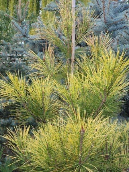 Сосна Окулус Драконис (Pinus densiflora Oculus Draconis) ФОТО Питомник растений Природа (9)