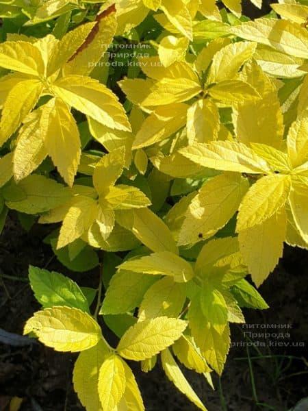 Спирея японская Вайт Голд (Spiraea japonica White Gold) ФОТО Питомник растений Природа (1)