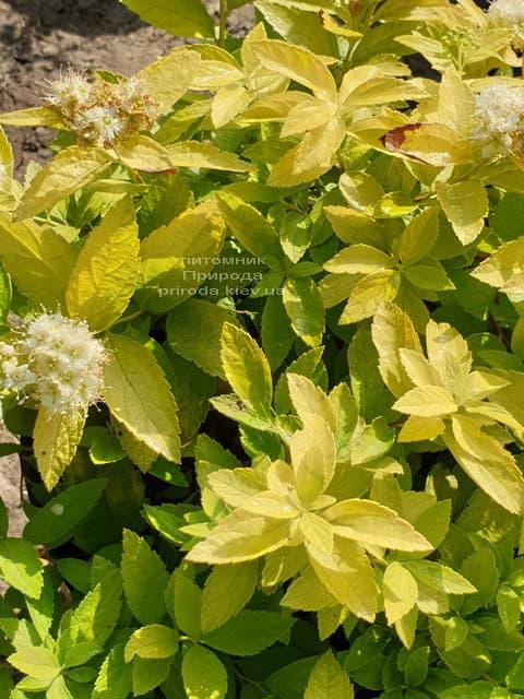 Спирея японская Вайт Голд (Spiraea japonica White Gold) ФОТО Питомник растений Природа (2)