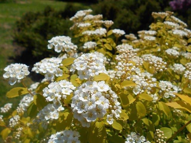 Спирея Вангутта Голд Фонтейн (Spiraea vanhouttei Gold Fontain) ФОТО Питомник растений Природа (1)