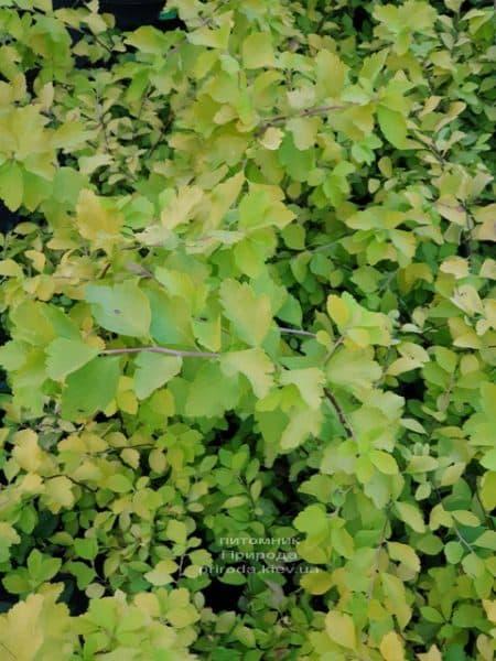 Спирея Вангутта Голд Фонтейн (Spiraea vanhouttei Gold Fontain) ФОТО Питомник растений Природа (3)