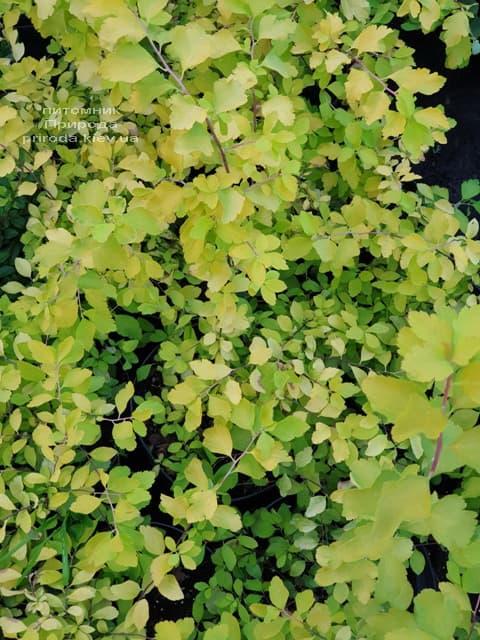 Спирея Вангутта Голд Фонтейн (Spiraea vanhouttei Gold Fontain) ФОТО Питомник растений Природа (4)
