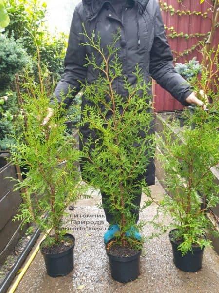 Туя західна Брабант (Thuja occidentalis Brabant) ФОТО Розплідник рослин Природа (74)