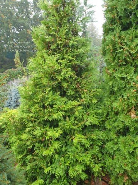 Туя західна Брабант (Thuja occidentalis Brabant) ФОТО Розплідник рослин Природа (75)