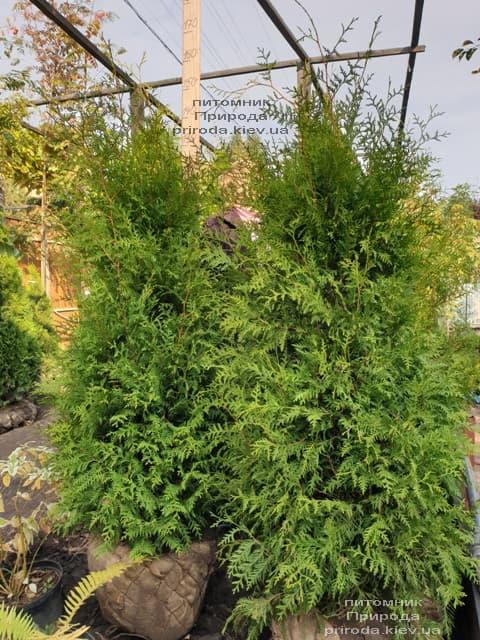 Туя західна Брабант (Thuja occidentalis Brabant) ФОТО Розплідник рослин Природа (77)