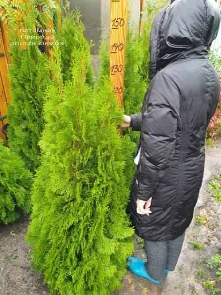 Туя западная Смарагд (Thuja occidentalis Smaragd) ФОТО Питомник растений Природа (115)
