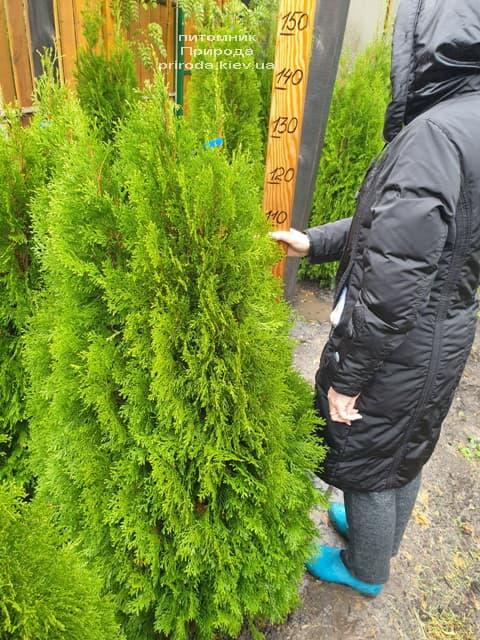 Туя западная Смарагд (Thuja occidentalis Smaragd) ФОТО Питомник растений Природа (116)