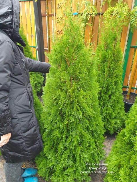 Туя западная Смарагд (Thuja occidentalis Smaragd) ФОТО Питомник растений Природа (117)