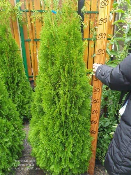 Туя западная Смарагд (Thuja occidentalis Smaragd) ФОТО Питомник растений Природа (118)