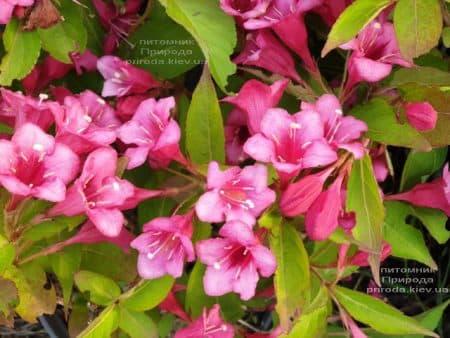 Вейгела квітуча (Weigela florida) ФОТО Розплідник рослин Природа (1)