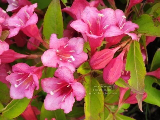 Вейгела квітуча (Weigela florida) ФОТО Розплідник рослин Природа (2)
