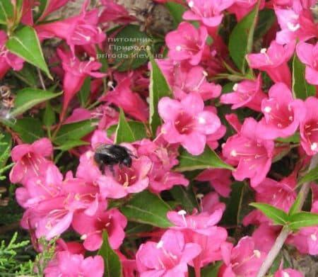 Вейгела квітуча (Weigela florida) ФОТО Розплідник рослин Природа (3)