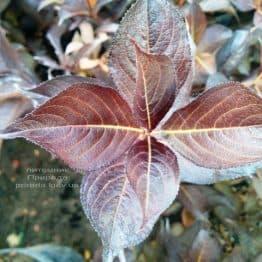 Вейгела цветущая Александра (Weigela florida Alexandra) ФОТО Питомник растений Природа (1)