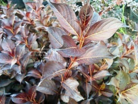 Вейгела цветущая Александра (Weigela florida Alexandra) ФОТО Питомник растений Природа (2)