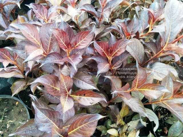 Вейгела цветущая Александра (Weigela florida Alexandra) ФОТО Питомник растений Природа (3)