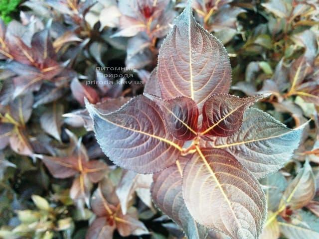 Вейгела цветущая Александра (Weigela florida Alexandra) ФОТО Питомник растений Природа (4)