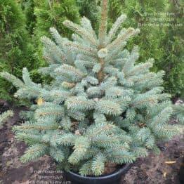 Ель голубая Глаука (Picea pungens Glauca) ФОТО Питомник растений Природа (103)