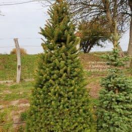 Ель колючая Глаука (Picea pungens Glauca) ФОТО Питомник растений Природа (60)