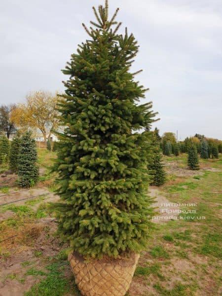 Ялина колюча Глаука (Picea pungens Glauca) ФОТО Розплідник рослин Природа (61)