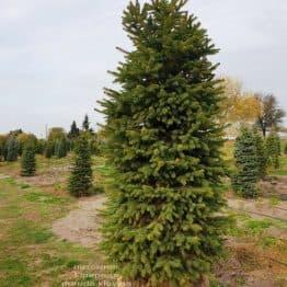 Ель колючая Глаука (Picea pungens Glauca) ФОТО Питомник растений Природа (62)