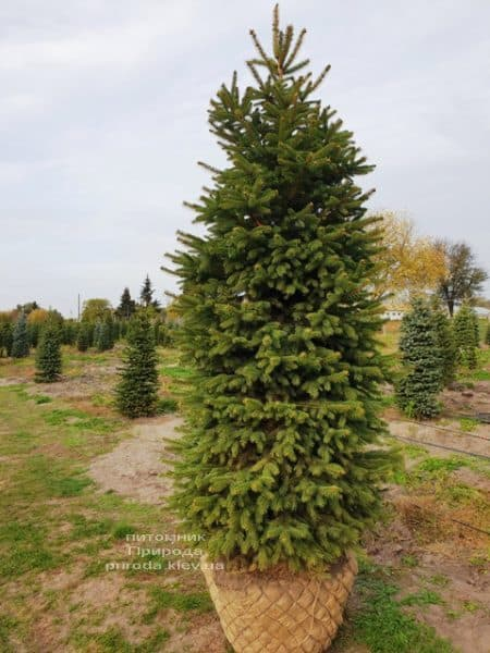Ялина колюча Глаука (Picea pungens Glauca) ФОТО Розплідник рослин Природа (62)