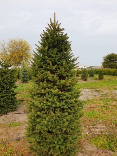 Ялина колюча Глаука (Picea pungens Glauca) ФОТО Розплідник рослин Природа (63)