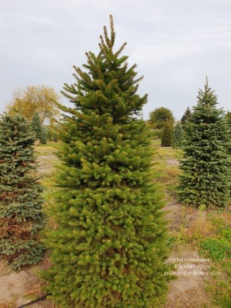 Ялина колюча Глаука (Picea pungens Glauca) ФОТО Розплідник рослин Природа (64)