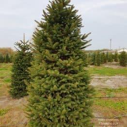 Ялина колюча Глаука (Picea pungens Glauca) ФОТО Розплідник рослин Природа (65)
