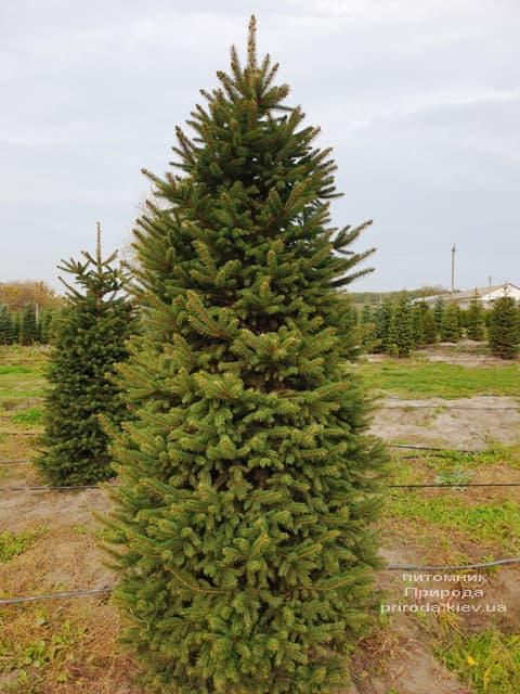 Ель колючая Глаука (Picea pungens Glauca) ФОТО Питомник растений Природа (65)