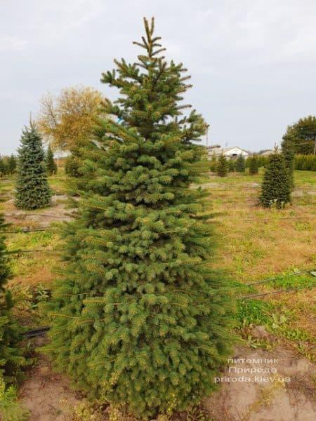 Ялина колюча Глаука (Picea pungens Glauca) ФОТО Розплідник рослин Природа (66)